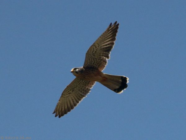 Some sort of kestral