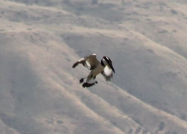Kingfisher fishing in the Sea of Galilee
