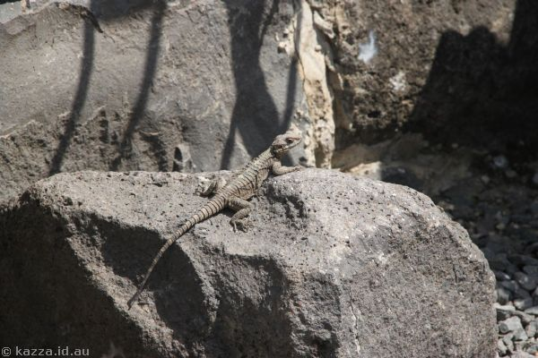 Lizard at Korazim