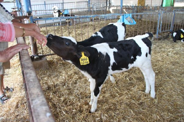 Calf on the kibbutz