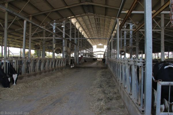 Cattle shed on the kibbutz