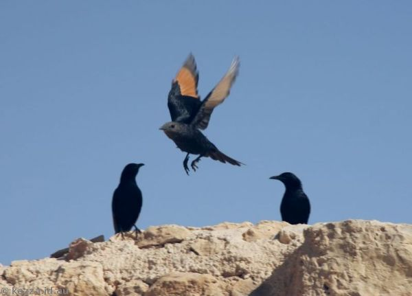 Tristram's starlings at Masada