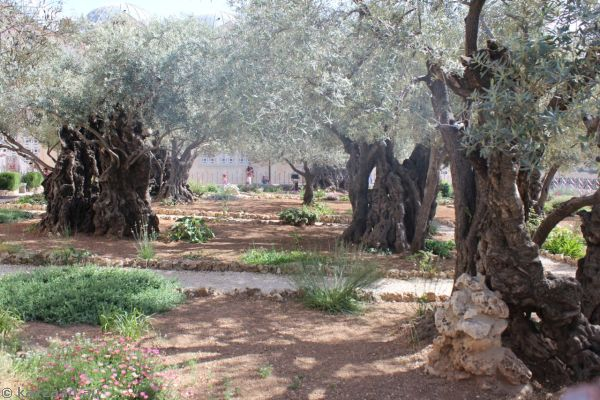 Ancient olive trees in the Garden of Gethsemane<br>Photo by Dad