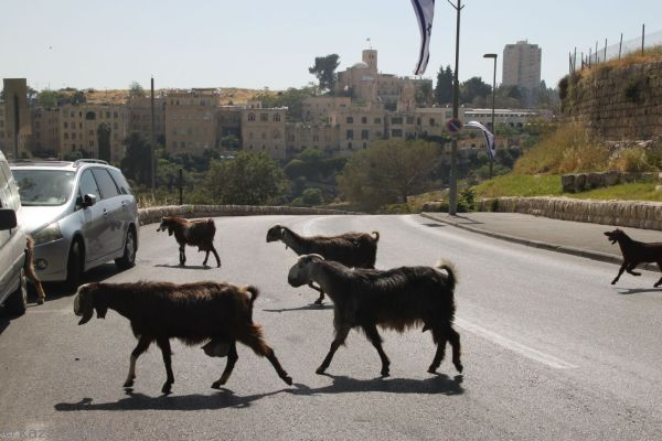 Just some goats crossing the road (out hotel in the background)