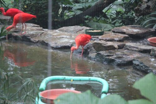 Very red looking ibises of some sort