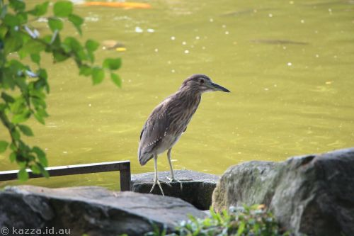 This could be a young Black-crowned Night Heron