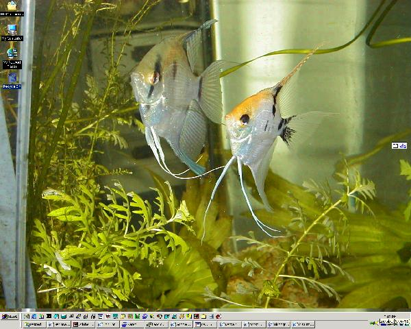 Two white angelfish