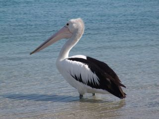 Pelican at Maroochydore