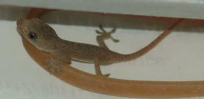 Found this tiny gecko in the clutter behind Stu's phone table - how cute is he!!
