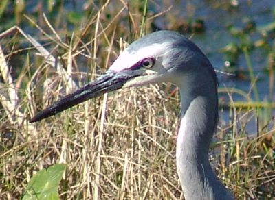Heron close up