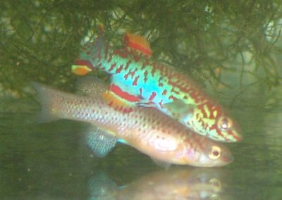 killifish spawning