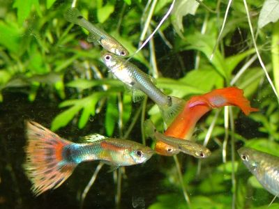 Pretty guppies