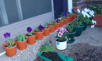 Row of petunias