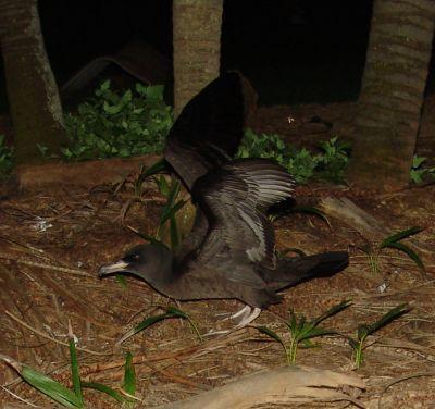 Mutton bird