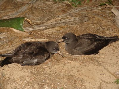 Flesh-footed Shearwater (Muttonbird) (Puffinus carneipes)