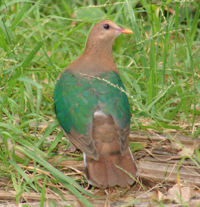 Emerald Ground-dove (Chalcophaps indica)