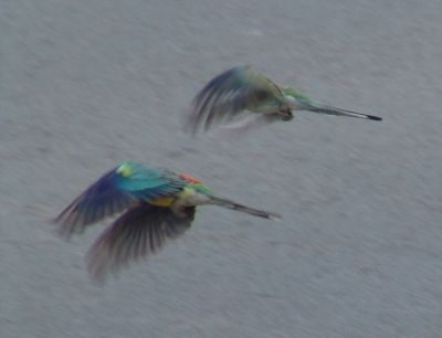 Red-rumped parrots in flight