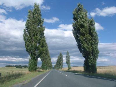 Trees alongside the highway (King's Highway??)