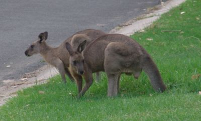 Kangaroos in our front yard