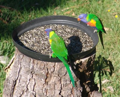 Rainbow Lorikeets