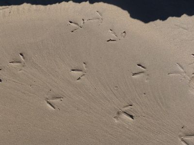 Seagull footprints