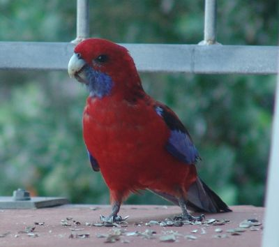 Crimson Rosella