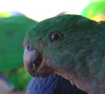 Juvenile King Parrot closeup