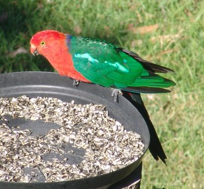 King Parrot