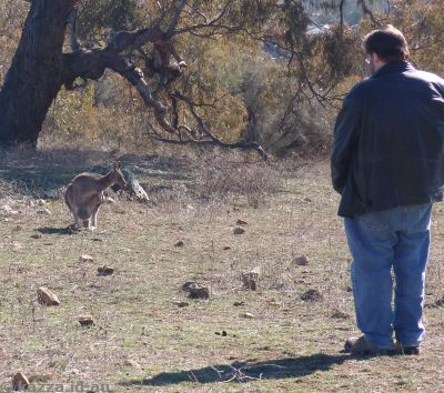Kangaroos on Red Hill