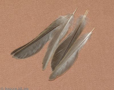 Sparrow tail feathers