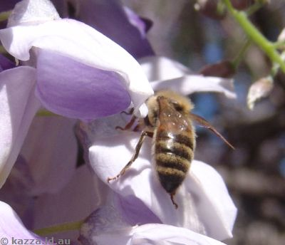 Bee in the wisteria