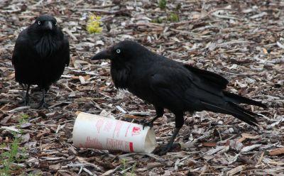 Big Mac crows