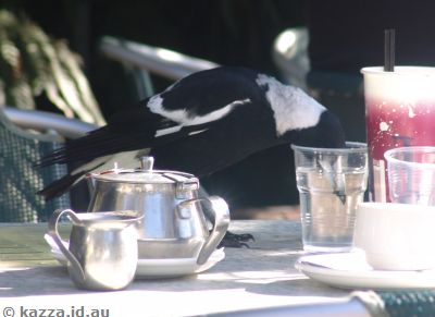 Magpie drinking