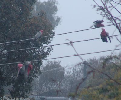 Galahs having a shower