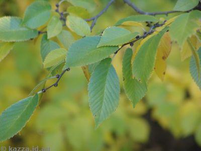 Gold Creek leaves