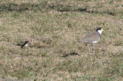 Willy Wagtail and Masked Lapwing