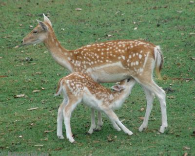 European Fallow Deer and fawn