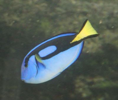 Dory the blue tang