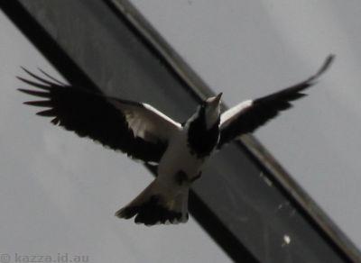 Mall bird