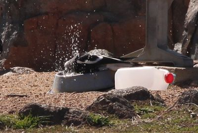 Magpie having a bath in a dog watering bowl
