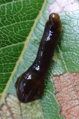 Pear and Cherry slug