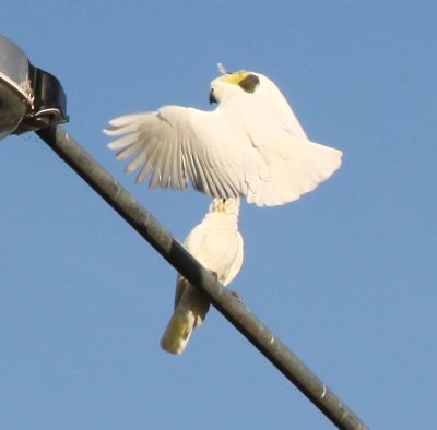 Sulfur crested cockatoo