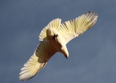 Sulfur crested cockatoo in flight