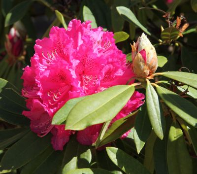 Rhododendron maybe