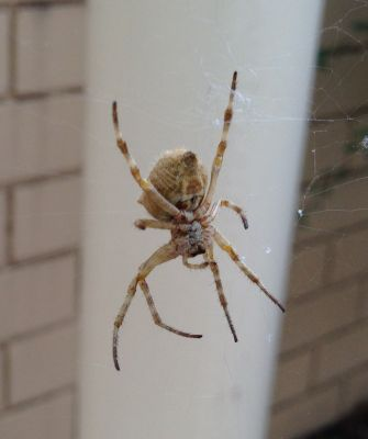 Belconnen spider