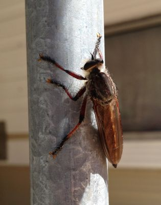Club Bug