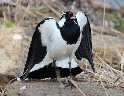 Magpie lark squawking