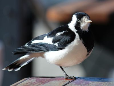 Magpie Lark at the Lighty