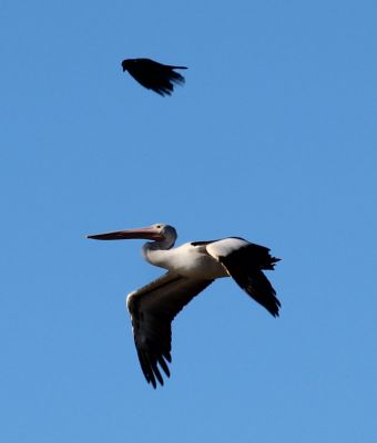 Pelican and raven