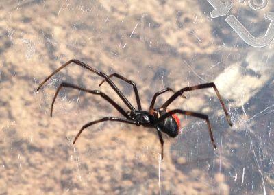 Caravan spider